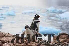 У Норвегії вакцинують пінгвінів