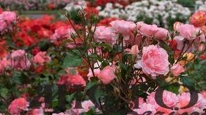 Шахрайка з Волині продавала неіснуючі саджанці троянд