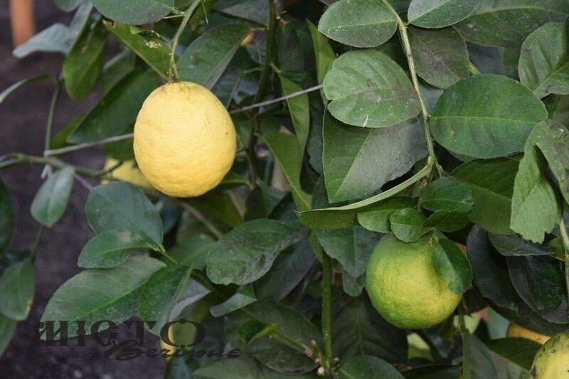 На Волині уже дозрівають лимони