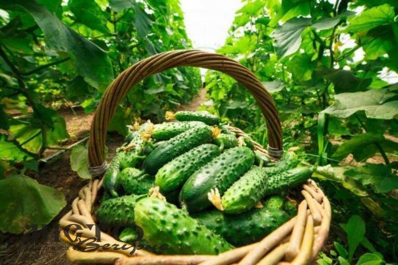 Огірки в Україні різко подешевшали