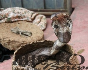 В Єгипті кобра влізла у мікроавтобус і вбила пасажирів та водія
