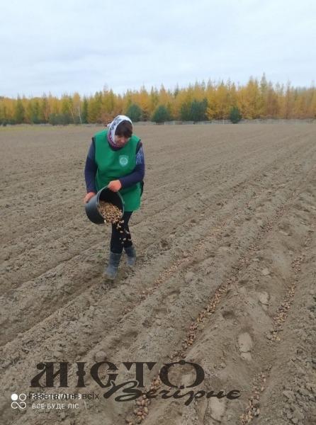 Володимирські лісівники висадили 3000 кілограмів жолудів