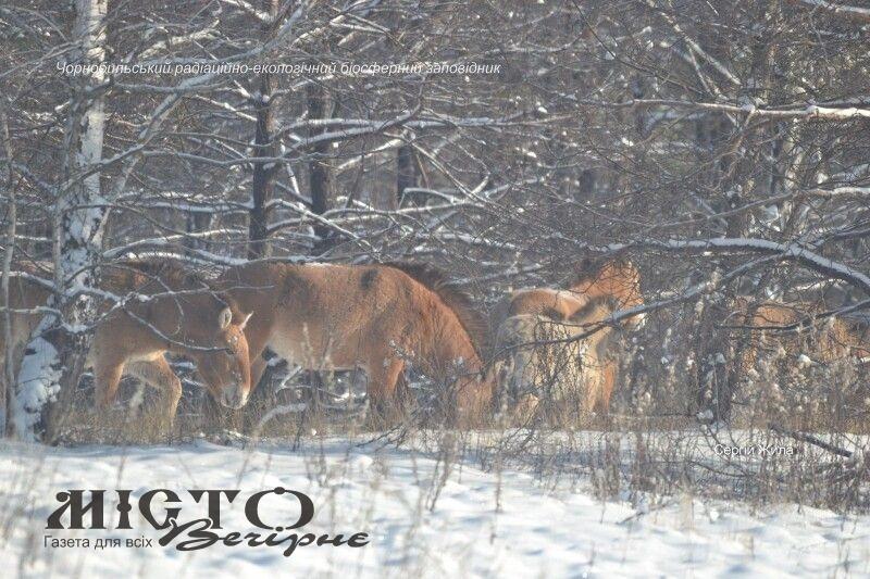 Здичавілим коровам Чорнобильської зони доводилося розгрібати сніг мордами