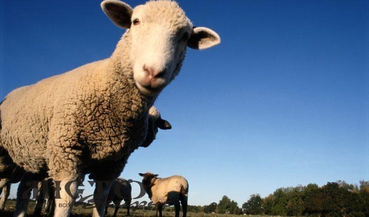 Україна нарощує експорт овець та кіз