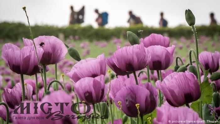 Жителям Володимира нагадали про заборону вирощування снотворного маку чи конопель
