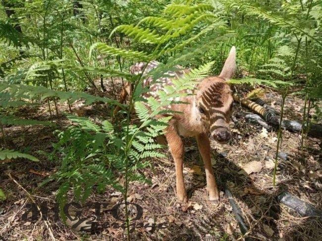 Волинські лісівники просять не підбирати і не торкатися до новонароджених мешканців лісу