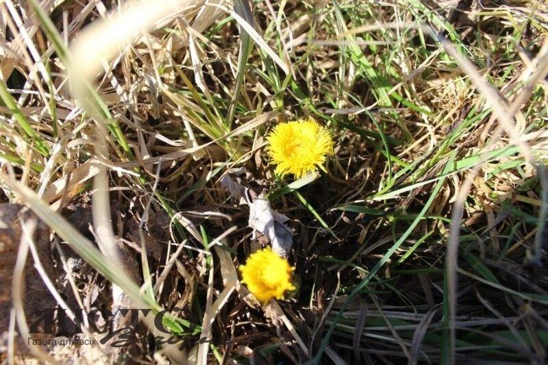 На Волині зацвіли весняні квіти