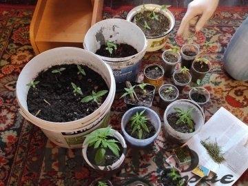 У Ковелі чоловік вирощував коноплю замість вазонів