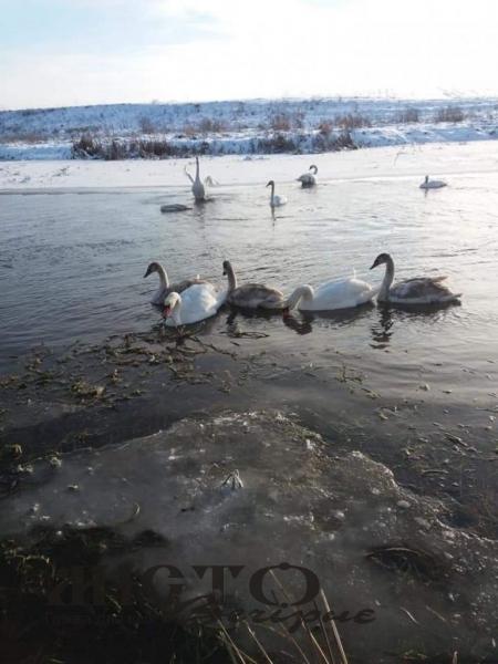 Зграя лебедів оселилася на Лузі