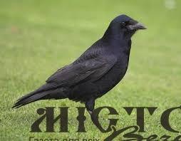 Новий мер заявив, що боротиметься з воронами центрального парку Володимира
