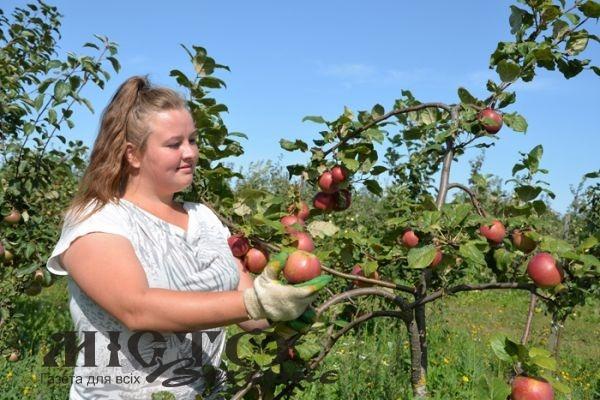 Коли і як збирати урожай яблук і груш