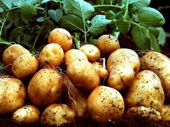 Якою буде ціна картоплі цього року