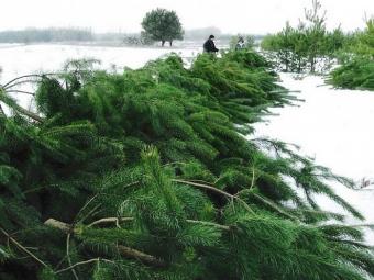 Скільки доведеться сплатити за незаконно зрубані ялинки у Волинській області