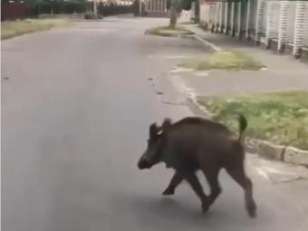 Вулицями Володимира бігав дикий кабан