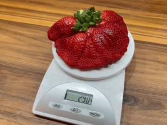 Найбільша в світі суниця важить 290 грамів