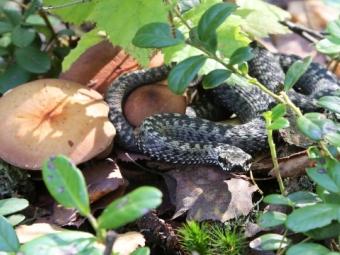 У Волинських лісах ще досі повзають змії