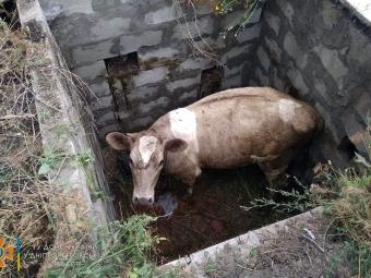 На Дніпропетровщині бійці ДСНС рятували корову, яка провалилася в глибочезну яму
