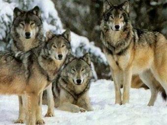 На Волині застрелили зграю вовків