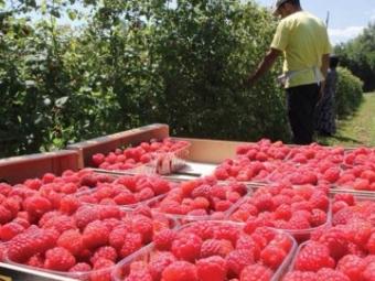 У громаді на Волині пропонують безвідсоткові кредити для старту малинового бізнесу