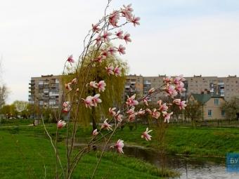 У парку Володимира розквітли магнолії