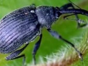 У Володимир-Волинському районі знайшли жуків-шкідників ріпаку