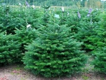 Найбільше новорічних дерев заготують на Волині