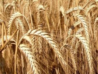 Волинь стала лідером України за вирощуванням тритикале