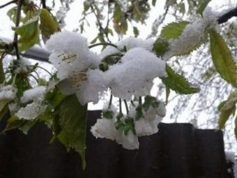 Через заморозки польські садівники втратили частину врожаю