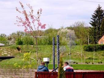 У Володимирі на Риловиці розквітли сакури