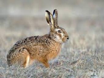 У Іваничівському районі покарають браконьєра, який застрелив зайця