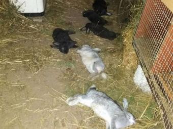 У селі Зимне невідома тварина подушила кролів