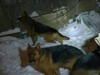 На подвір'ї мешканця Нововолинська виявили 12 вівчарок