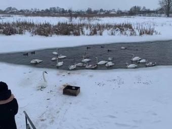 У Володимирі можуть замерзнути лебеді