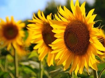 Переробники підіймають ціни на соняшник