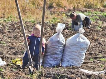 Чи варто в селах садити картоплю