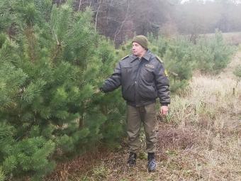 У зимовому лісі заготовляють шишки, а незабаром почнуть рубку новорічних ялин і сосен